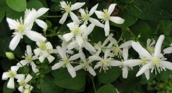 Clematis maximowicziana